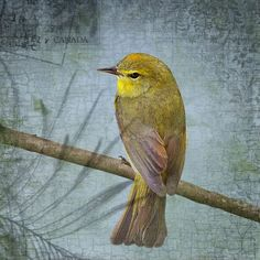 yellow birds on branches | Golden Warbler Tiny Yellow Bird Perched on a Branch by junehunter, $7 ...