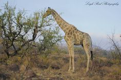 Grazing giraffe spotted whilst on a game drive in a South African reserve. Kruger National Park, Giraffes, Lonely Planet, North West, Travel Guide, South Africa, Planets, Wildlife, African
