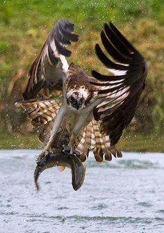 Fly Fishing - Osprey - Pandion haliaetus