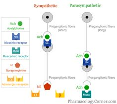 Acetylcholine receptors ANS- Lots of great info Pharmacology Corner