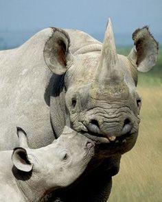A black rhino and her calf. Photo by Art WolfeNovember Wildlife: RhinocerosAWF Solutions: Supporting Rhino SanctuariesHeartlands: Kilimanjaro The Animals, My Animal, Baby Animals, Wild Animals, Beautiful Creatures, Animals Beautiful, Save The Rhino, Baby Rhino, Giraffes