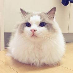 珍しい!ぽっちゃんの香箱座り✨ すごい巨大な香箱でうけた #ragdoll #ragdollcat #ragdollsofinstagram #instaragdoll #instacat #instagramcats #catsofinstagram #catlove #adorable #aww #pet #cat #neko #ラグドール #猫 #ネコ #ねこ #ねこ部