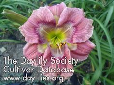 Daylily Picasso's Paint Brush