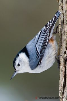 White-breasted nuthatch is the only North American nuthatch usually found in deciduous trees Pretty Birds, Love Birds, Beautiful Birds, Animals Beautiful, Small Birds, Little Birds, Colorful Birds, Backyard Birds, Bird Pictures