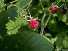 Il lampone nome botanico rubus idaeus è un arbusto spinoso che nasce e cresce in maniera spontanea nei boschi montani dEuropa e dellAsia nelle zone temperate, attualmente coltivato anche negli