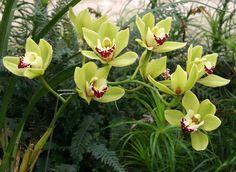 orquídeas-cymbidium-5