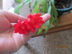 My Easter cactus