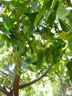 Kukui nuts are used to supply omega-3 oil to one's diet, in crushed or roasted form to relieve constipation, in sap form to help heal insect bites, sores, and chapped lips, and in mashed or liquefied form with ulu (breadfruit sap) to heal open wounds. The nut oil is used to make candles.