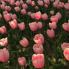 Flower aesthetic - Pretty tulips rising towards the sun Ahhh tulips tulips garden garden tulips planting Spring Aesthetic, Nature Aesthetic, Flower Aesthetic, Aesthetic Plants, Pretty In Pink, Beautiful Flowers, Plants Are Friends, No Rain, Foto Art