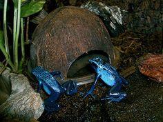 Pair of azureus blue dart frogs with their coconut hut. Photo by Rachel Jensen.