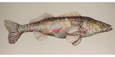 Pike perch, zander