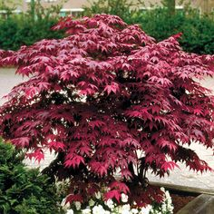 How-to: Planting and Caring for Japanese Maples | Wayside Gardens