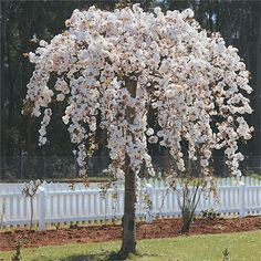 Fleming's Nurseries - Australia's leading growers and wholesalers of deciduous fruit and ornamental trees and shrubs. Weeping Trees, Weeping Cherry Tree, Cherry Blossom Tree, Blossom Trees, Landscape Design, Garden Design, Wine Making Kits, Growing Grapes, Unique Gardens