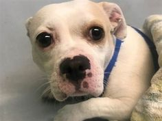 **NEEDS VET CARE – ORTHO SURGERY ASAP** SUPER URGENT 2 yr. female white/tan, STRAY , 23 pounds:***found by police limping holding both hindlimbs up.***  very sweet and easily handleable