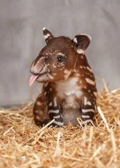 This cheeky guy is a baby tapir (Source: http://ift.tt/1BJo8HI)