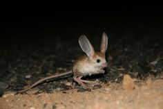 LONG EARED JERBOA - ( Euchoreutes naso ). Jerboas are small jumping rodents that resemble mice with long tufted tails and very long hindlegs. The long-eared jerboa can be distinguished from other jerboas by its enormous ears, which are about a third larger than its head. Very little is known about this species. Other jerboas are primarily nocturnal, spending the hours of daylight in underground burrows, which they dig themselves.