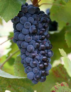 Grape vines: pinot noir