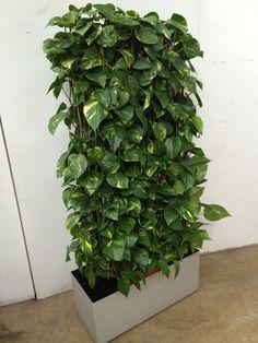 Specimen Scindapsus specially grown to create 'green screen' garden wall House Plants Decor, Plant Decor, Garden Plants, Balcony Gardening, Garden Hose, Plant Design, Garden Design, Vertikal Garden, Quick Garden