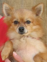 Xsu Xsu -- On Heartworm Hold** is an adoptable Pomeranian Dog in Shorewood, IL. This little boyis a tiny tiny Pomeranian, maybe 8-9 pounds.  How can he be heartworm positive???  But he is.  We are jus...