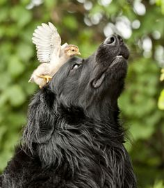 Hitchhiking Animals ~ A dog with a chicken on its head.
