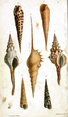 Wodarch's introduction to the study of conchology : describing the orders, genera, and species of shells : with observations on the nature and properties of the animals and directions for collecting, preserving, and cleaning shells (1825)