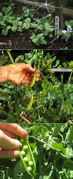 Alternative Gardning: How to plant peas in a garden Alternative Gardning: So pflanzen Sie Erbsen in Fruit Garden, Edible Garden, Vegetable Garden, Garden Pond, Farm Gardens, Outdoor Gardens, Container Gardening, Gardening Tips, Garden Projects