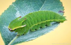 Caterpillar Up Close Source: Charly Morlock