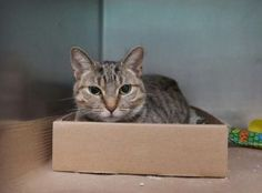 ***TO BE DESTROYED 09/28/17*** SHY BUT BEAUTIFUL BUTTER WAS ABANDONED ON A BUSY STREET IN A CAT CARRIER - SHE NEEDS A HOME TONIGHT! BUTTER was found on a busy street abandoned in a cat carrier. The finder thought she would be better off in the shelter so she was brought to the ACC. Poor Butter has been through enough and she is shy and wary of her surroundings and strangers. She did allow petting and gave head butts once she relaxed but the ACC has given her walking papers tonigh...
