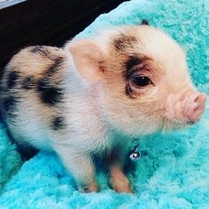 20 Piglets Whose Oinks You Would Love To Boop! - I Can Has Cheezburger?You can find Teacup pigs and more on our Piglets Whose Oin. Cute Baby Pigs, Baby Piglets, Cute Piglets, Baby Teacup Pigs, Animals And Pets, Funny Animals, Farm Animals, Wild Animals, Cutest Animals