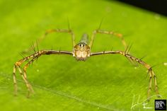 Lynx Spider - ( Hamadruas cf superba ) by Daveboy71