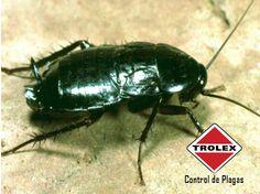Identificación de la cucaracha negra  Las cucarachas negras son comúnmente llamadas chinches de agua o escarabajos negros.