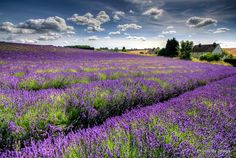 Lavender in the Cotswold, UK