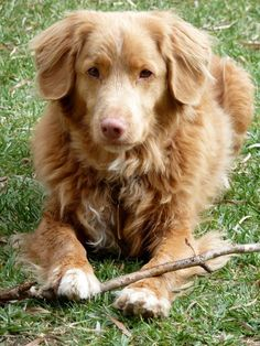 A Nova Scotia Duck Tolling Retriever likes to fetch almost any size of sticks.  They are working dogs.