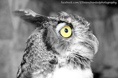 Owl Yellow Eye Fine art prints, or cards