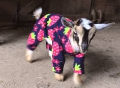 Baby goats playing in pyjamas and other ridiculous cuteness: TreeHugger
