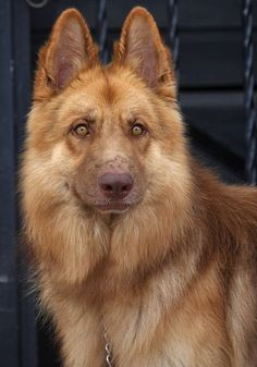 Liver colored German shepherd | dogs | | puppy | | pets | #puppy #pets biopop.com/