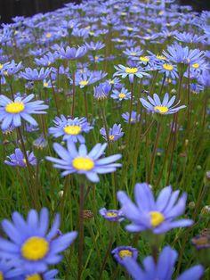 Blue Daisies are my most favorite flower. #WhyILoveMe @Lisa Phillips-Barton Phillips-Barton Troxell Helmets