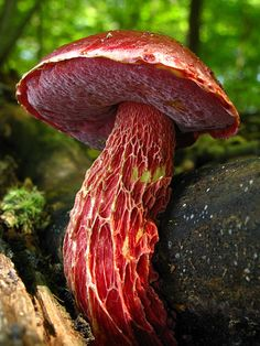Boletus frostii - I've probably already pinned this pic a couple of times but I'm not risking not having it in my collection. Just look at this magnificent thing.