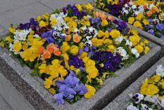 Keltaiset kevätkukat julkisessa tilassa. Plants, Flora, Plant