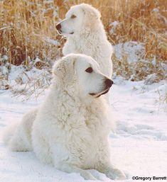 Hungarian Kuvasz--These two could be our Shayna and Alex.  We miss our babies sooooo much.