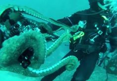 David Malvestuto, 34, and Warren Murray, 56, went diving off Bluefish Cove in Carmel, Calif., and captured a rare find when they got very close to an 8-foot-long giant Pacific octopus.