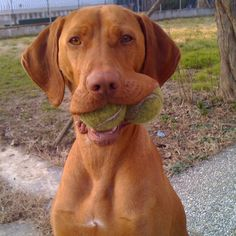 Anyone looking for a tennis ball??..... Vizsla
