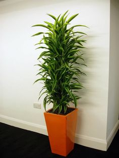 When you are looking for such plants choose that are known for their ability to grow in indirect sunlight. They are ideal shade-loving plants, naturally growing in indirect sun. These plants adapts well to the smaller amount of light and thrives normally. Tall Indoor Plants, Indoor Palms, Indoor Plants Low Light, Hanging Plants, Ornamental Plants, Foliage Plants, Best Desk Plants, Ficus Pumila, Apartment Decoration