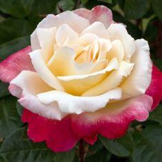 "Rose "" Laetitia Casta ® "" , (Meilampario) ,  Meilland International (France, 2009)"