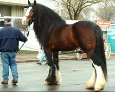 Laural's Powerful Paul (Shire). They are such impressive horses!