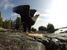 Foto del Dia!   A bald eagle gets ready to take flight in British Columbia, Canada. Photo by Matthew Danes. #GoProLAN #GoPro_LAN #GoPro