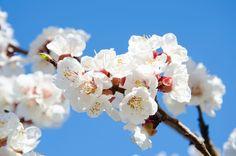 À part les pêchers et les abricotiers, dont les fleurs ont la capacité de s'autoféconder, la plupart des arbres fruitiers ont besoin d'être pollinisés par d'autres variétés pour donner de bonnes récoltes.