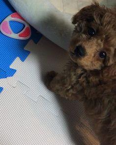ナイスカメラ目線❤️ #20171122 #トイプードル#トイプ#トイプードル部#女の子#生後2ヶ月#moco🐶💗#愛犬#わんこ#我が家の天使#犬バカ部#親バカ#🇯🇵 #kawaii#angel#Toypoodle#girl#pet#family#dog#cute#dogstagram#mydogismybestfriend#mydogiscutest#love#dogmodel#todayswanko#puppydog#puppy#nicepic