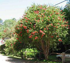 紅瓶刷子樹:枝條上揚不下垂,樹幹分枝多而細長,樹冠不整
