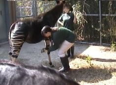 Using clicker training to work on the feet of the okapi and other zoo animals! I LOVE okapis!!!